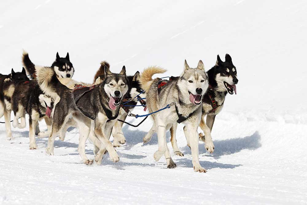 pack of dogs pulling a sled
